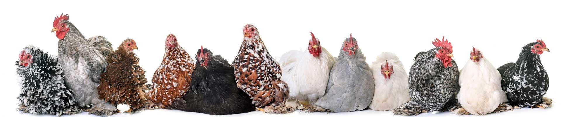 Kippen Dierenartspraktijk Beetsterzwaag