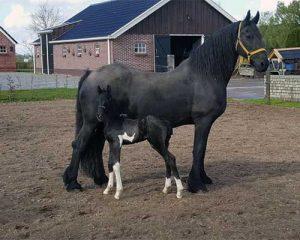 Paarden Gynaecologie veulen en merrie
