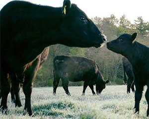 Runderen en melkveebedrijven