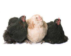 Vogels Kippen