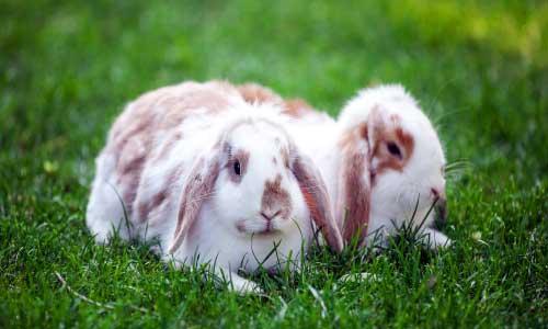 vacineren bij konijnen
