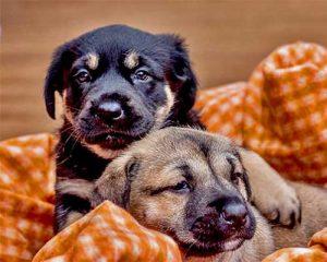 Honden Puppybegeleiding